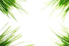 Groene tarweachtergrond Stock Afbeeldingen