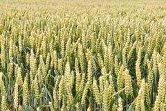 Groene tarweinstallaties op een gebied in de zomer Royalty-vrije Stock Fotografie