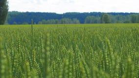 Groene tarwestammen die op de wind in langzame mo slingeren stock videobeelden