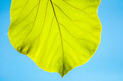 Groene teakbladeren tegen blauwe hemel Royalty-vrije Stock Fotografie