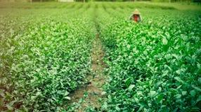 Groene theeaanplanting Stock Afbeelding