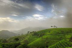 Groene theeaanplanting Stock Fotografie