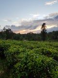 Groene theeaanplantingen stock afbeelding