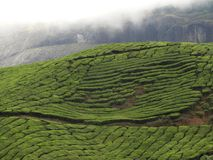 Groene theeaanplantingen met rokerige bergen Royalty-vrije Stock Foto