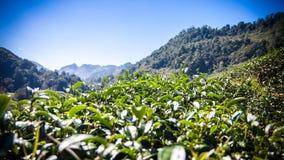 Groene theebladen met blauwe hemel, Thailand, filtergevolgen Royalty-vrije Stock Afbeeldingen