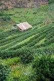 Groene theegebied en bamboehut Stock Fotografie