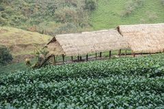 Groene theegebied en bamboehut Stock Afbeelding