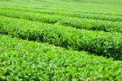 Groene theestruiken bij groen-theeaanplanting van Jeju-Eiland, Zuid-Korea Stock Afbeelding