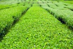 Groene theestruiken bij groen-theeaanplanting van Jeju-Eiland - Zuid-Korea Royalty-vrije Stock Foto's