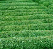 Groene theetextuur Royalty-vrije Stock Afbeeldingen