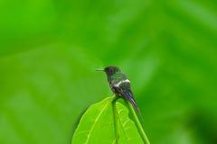 Groene Thorntail-Kolibrie, Mannetje Stock Foto