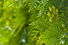Groene thuja in het park Royalty-vrije Stock Foto