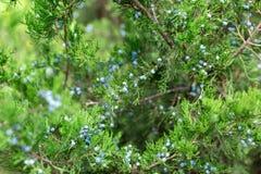 Groene thuja of jeneverbessen de bessen van WIS van boomtakken dichte omhooggaand als achtergrond royalty-vrije stock foto's