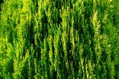 Groene thuja Oosterse verscheidenheid Aurea Nana, close-up royalty-vrije stock afbeeldingen