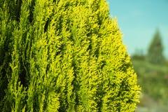 Groene thuja Oosterse verscheidenheid Aurea Nana, close-up stock afbeeldingen