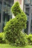 Groene thuja op het gazon met weelderig die gras, in de vorm van een spiraal wordt geschoren royalty-vrije stock fotografie