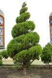 Groene thuja op het gazon met weelderig die gras, in de vorm van een spiraal wordt geschoren stock afbeeldingen