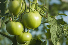 Groene tomaat Stock Afbeelding