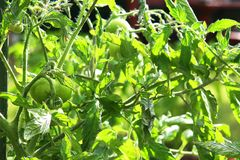 Groene tomaat alvorens in de tuin te rijpen De tomaat verstrekt partij royalty-vrije stock foto's