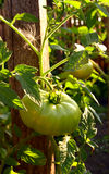 Groene tomaat op wijnstok Royalty-vrije Stock Foto