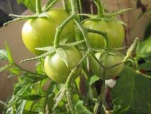 Groene tomaten Royalty-vrije Stock Afbeelding