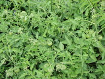 Groene tomaten stock foto