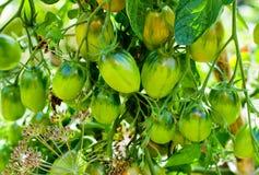 Groene tomaten royalty-vrije stock fotografie