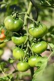 Groene tomaten Royalty-vrije Stock Foto