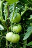 Groene tomaten Stock Afbeeldingen