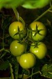 Groene tomaten Royalty-vrije Stock Afbeeldingen