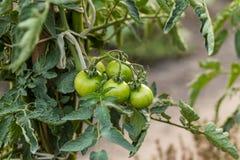 Groene tomaten Royalty-vrije Stock Foto's