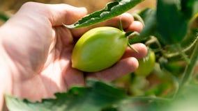 Groene tomaten in een serreclose-up royalty-vrije stock foto