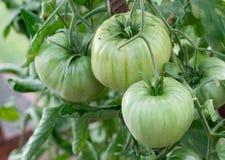 Groene tomaten op de struik Royalty-vrije Stock Afbeelding