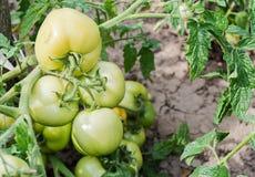 Groene tomaten op een tak stock afbeeldingen