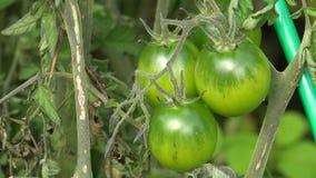 Groene tomaten op een tak van een struik 4K stock videobeelden