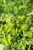 Groene tomaten op wijnstok stock foto