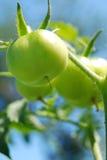 Groene tomaten in tuin Stock Foto's