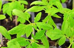 Groene tomatenzaailing Royalty-vrije Stock Afbeeldingen