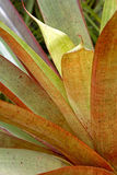 Groene tropische Bromelia Stock Afbeelding