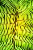 Groene tuinachtergrond van Fishbone Varen of Zwaardvaren Stock Afbeelding