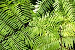 Groene tuinachtergrond van Fishbone Varen of Zwaardvaren Royalty-vrije Stock Afbeelding