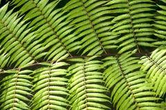 Groene tuinachtergrond van Fishbone Varen of Zwaardvaren Stock Fotografie
