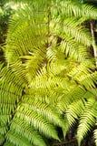 Groene tuinachtergrond van Fishbone Varen of Zwaardvaren Royalty-vrije Stock Fotografie
