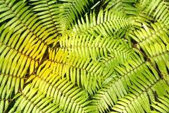 Groene tuinachtergrond van Fishbone Varen of Zwaardvaren Stock Foto