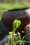 Groene tuininstallatie voor een oude roestige ketel royalty-vrije stock afbeeldingen