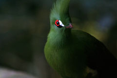 Groene Turaco stock foto's