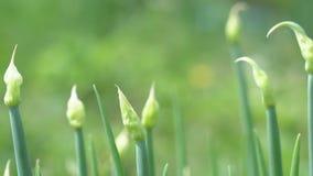 Groene uien in tuin stock footage