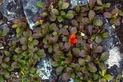 Groene uiterst kleine bladeren met rood in toendra, Rusland Royalty-vrije Stock Foto