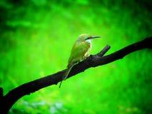 Groene van bij-eter orientalis vogelmerops soms weinig groene bij-eter is een dichtbijgelegen passerinevogel in de bij-eter famil royalty-vrije stock fotografie
