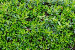 Groene bladmuur Stock Foto